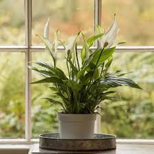 Tanaman Hias Indoor Untuk Percantik Rumah Anda