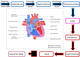 Heart Flow Chart Identity Biological Authority