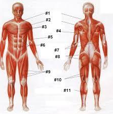 the human circulatory system circulatory system essay human human muscle quiz