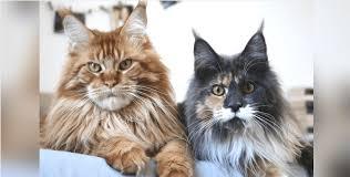 adopt a maine cat