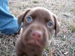 chocolate lab with blue eyes. Intended Chocolate Lab With Blue Eyes