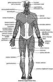 There is a printable worksheet available for download here so you can take the quiz with pen and paper. Major Skeletal Muscles