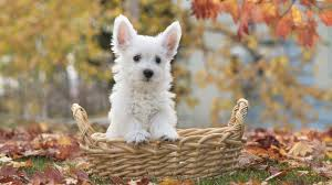silky dog white. australian silky terrier desktop wallpapers background dog white p