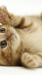 cute cat wallpaper iphone. Wonderful Iphone Cat IPhone Wallpaper 16 With Cute Iphone