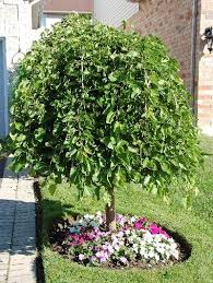 The Appeal Of The Weeping Mulberry  Geranium BlogMulberry Tree No Fruit