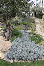 mediterranean garden under the olive trees: slope of herbs (rosemary,  lavendar, germander) with grasses planted off one side of the path.