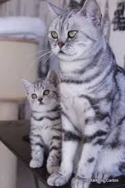 british shorthair black silver tabby blotched chatteries aristide