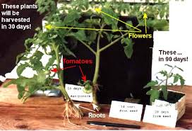 Tomato Seed Growth Chart Aeroponic Growing Systems For Greenhouses And Indoors The