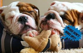 best bulldog toy