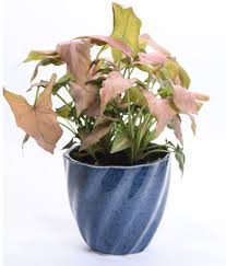 Sheel Greens Pink Syngonium Indoor Indoor Plant ...