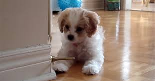 adorable little puppy gets into an epic battle with a door stop