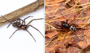 Different Spider Bites Chart How To Spot False Widow Spiders What To Do If The False
