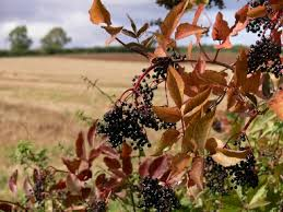 Trees and shrubs: native to Britain / RHS Gardening