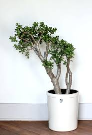 tall indoor plants jade tree large indoor plants large indoor plants uk