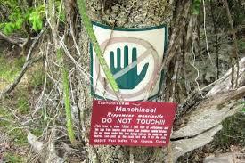 Resultado de imagem para imagens da árvore Hippomane mancinella