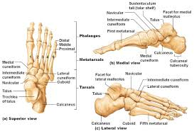 diagram of foot and ankle   human anatomy diagram    humananatomybody diagram of foot and ankle bone structure skeleton of left foot   humananatomybody