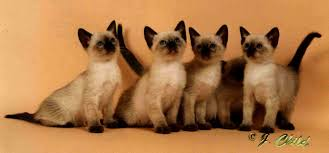 Siamese Kitten Growth Chart The Traditional Cat Association
