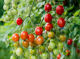 How Would A Tomato Look Under Blue Light The Best New Vegetables Herbs And Fruits Of 2020
