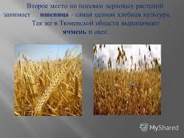 Презентация на тему Доклад на тему Культурные растения нашего  6 Второе место по посевам зерновых растений