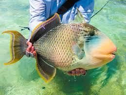 triggerfish bite. Plain Triggerfish Alphonseexperienceflyfishingspeciesyellowmargintriggerfish01 To Triggerfish Bite U