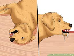 how to prevent rabies in dogs steps pictures wikihow image titled prevent rabies in dogs step 13