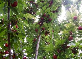 Fruit Tree  WikipediaDifferent Fruit Trees
