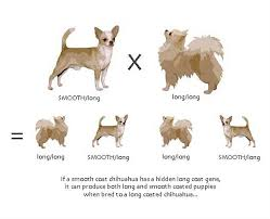 Chihuahua Color Chart Chihuahua Info Loyalchis