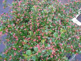 Identify Shrub With Pink Flowers  Gardening Forum Shrub With Pink Flowers