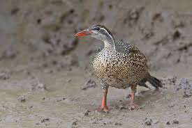 Image result for the african finfoot