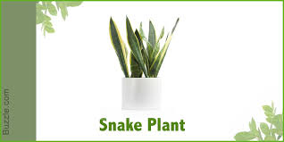 best office plant no sunlight. sansevieria trifasciata also known as motherinlawu0027s tongue or snake plant is native to tropical west africa the has swordlike leaves that best office no sunlight a