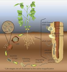 Soybean Cyst Nematode Of Soybean Crop Protection Network