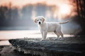 Baby, Animal, Dog Labrador, Retriever ...