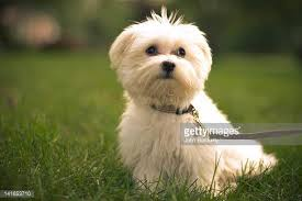 maltese dog. maltese dog in grass u