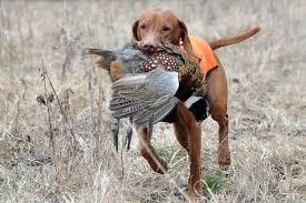 pheasant bird hunting dog breeds