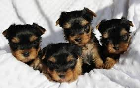 teacup yorkie puppies for adoption. Wonderful Teacup Teacup Yorkie Puppies For Adoption On For I