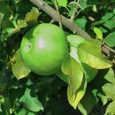 29 Best Fruit Trees Images On Pinterest  Fruit Trees Plants And Medley Fruit Tree