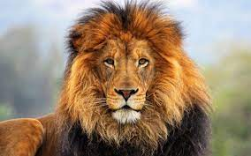 Lion Face Wallpapers [1920x1200 ...