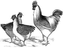 vintage chicken clipart black and white. Beautiful White Free Vintage Chicken Graphics Inside Clipart Black And White E