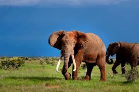 white elephant animal. Wonderful Elephant Red Elephant Cubs Endangered Animals On White Elephant Animal