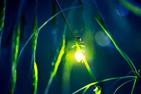 """Résultat de recherche d'images pour """"bioluminescent insects"""""""