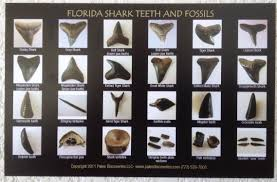 Shark Teeth And Fossils Identification Chart Postcard