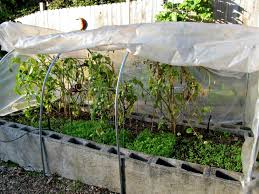 cinderblocks collect warmth during the day and release it at night adding even more warmth to the tomato plants roots