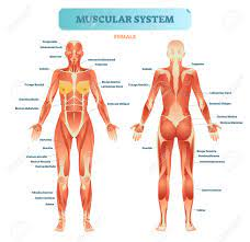 The shoulder muscles bridge the transitions attached to the bones of the skeletal system are about 700 named muscles human body muscle diagrams. Female Muscular System Full Anatomical Body Diagram With Muscle Royalty Free Cliparts Vectors And Stock Illustration Image 100867242