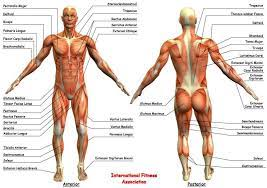 In this image, you will find frontalis, orbicularis oculi, zygomaticus, masseter, orbicularis oris, sternocleidomasteoid. Diagram Of Muscles In Body Muscle Anatomy Pictures Images Stock Photos Depositphotos The Muscular System Contains Over Decoracion De Unas