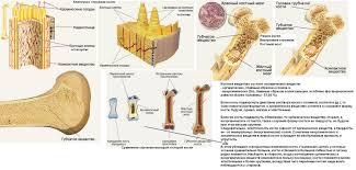Строение и рост костей Состав костей человека