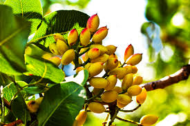 Toot From Toronto  All Things Persian  Pinterest  Persian Iranian Fruit Trees