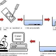 Click Chart Diagram Flow Chart Of The Comet Assay Click Here To View Larger