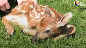 what to do if you find a baby deer the dodo