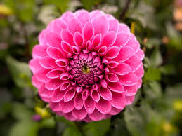 garden flowers. Flower Plant Nature Garden Flowers Dahlia Pink