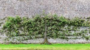 The Best Plants For Narrow Shady Gardens  StuffconzWall Climbing Plants Nz